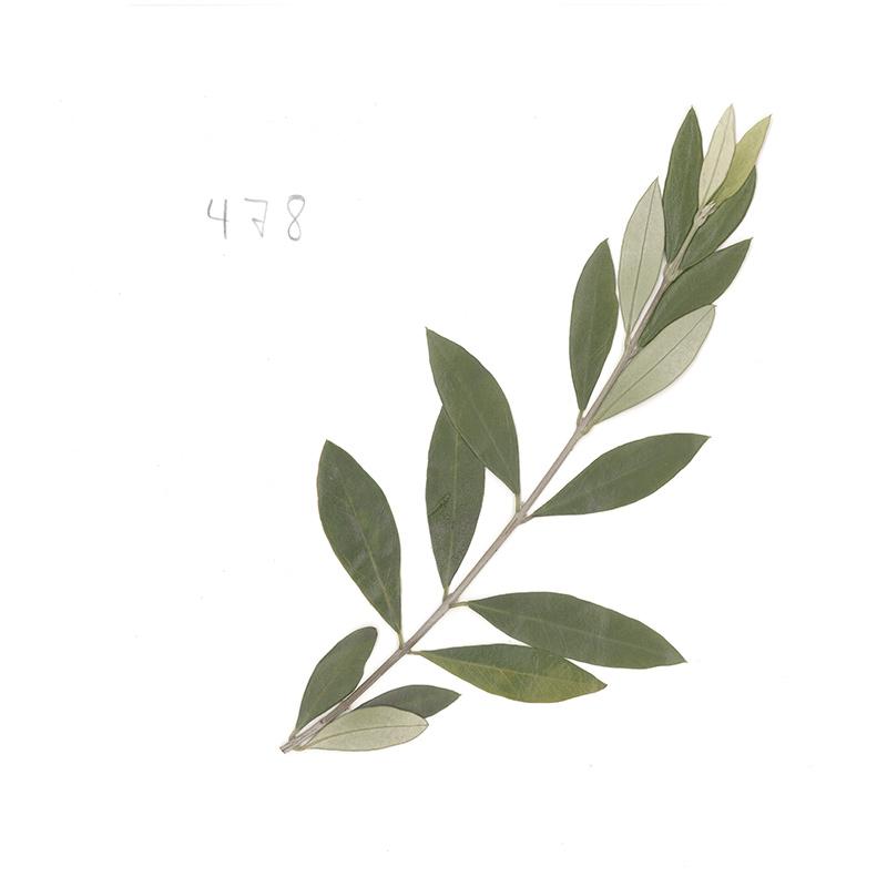 herb_olive