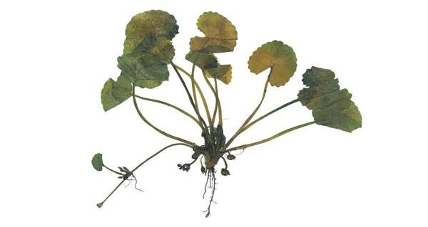 herbarium_centella_wassernabe_-01
