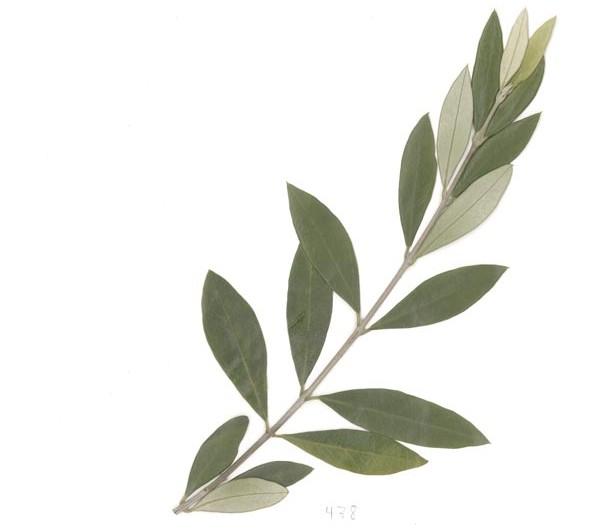 herbarium_olive_01